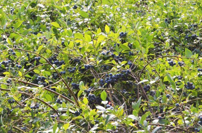 В Беларуси при сборе ягод разрешили пользоваться ручными приспособлениями